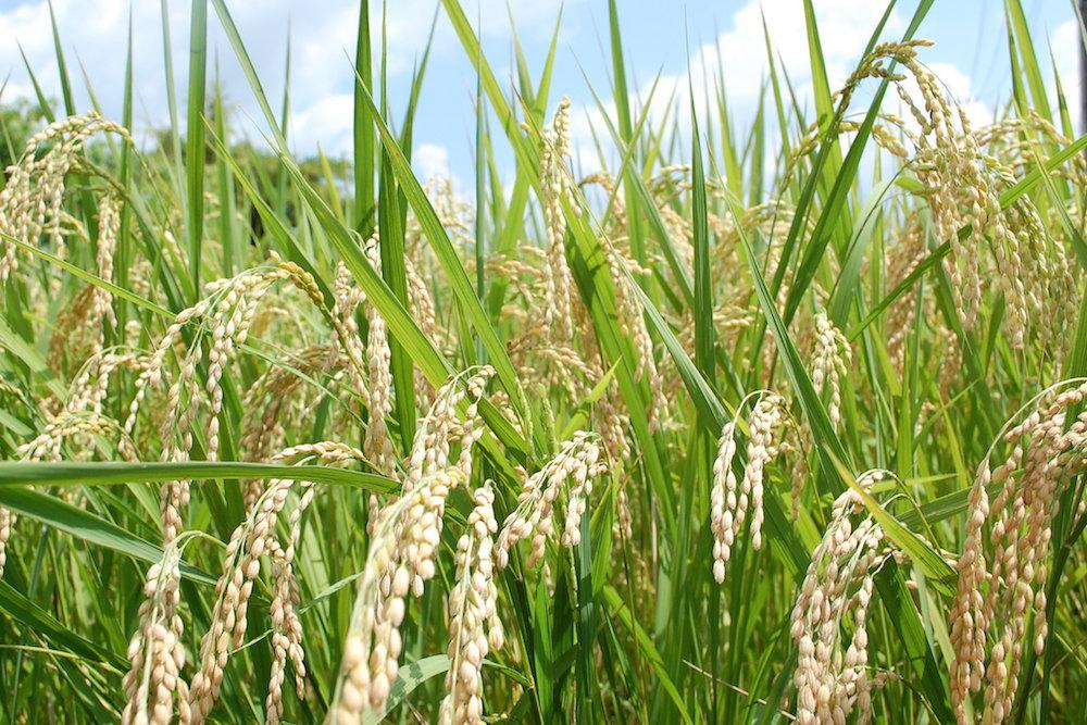 美味しくて健康な天然循環法の平成29年産米がお買い得です