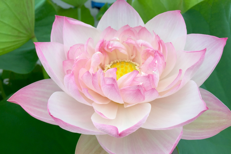 お庭やベランダで栽培!ハスの花の苗を販売中です